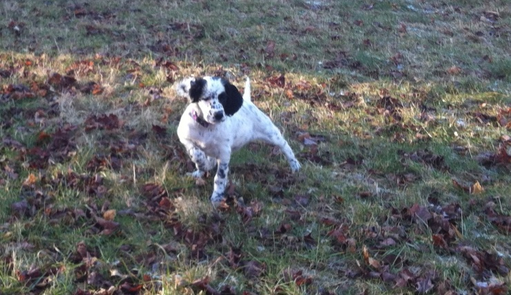 Pixel pointing a grouse wing at 10 weeks old