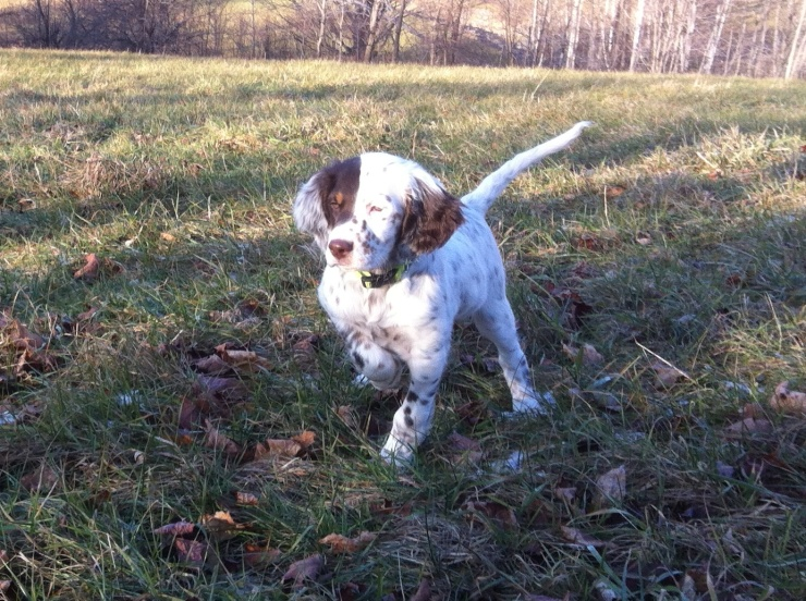 Widget working a grouse wing at 10 weeks old