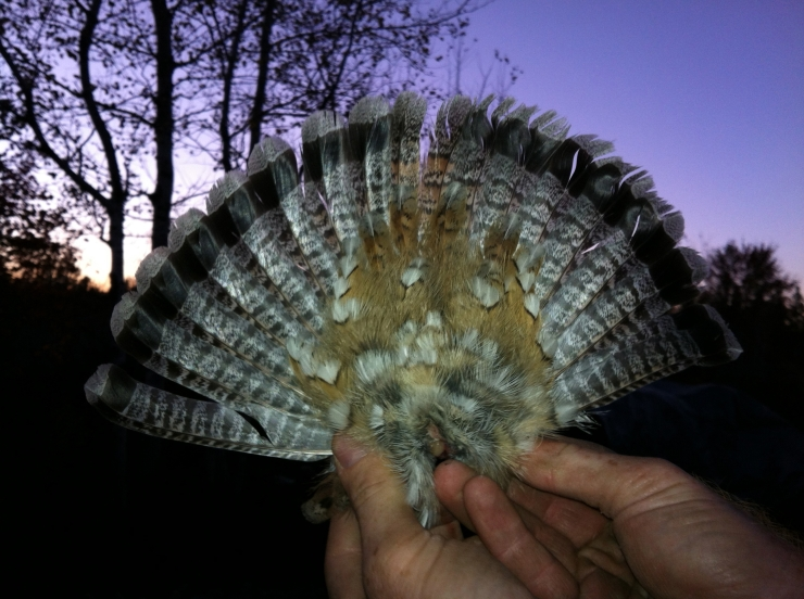 grouse tail