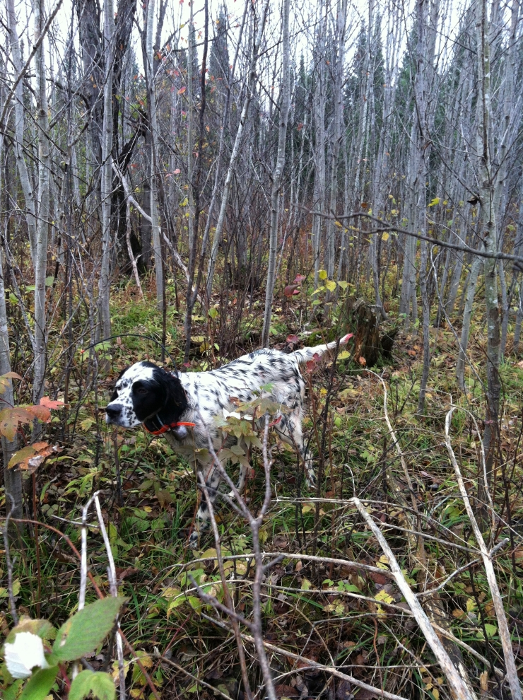 pixel in aspen pointing grouse
